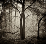 Entwined, Henry Cowell Park