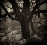 Oak 2, Henry Cowell Park