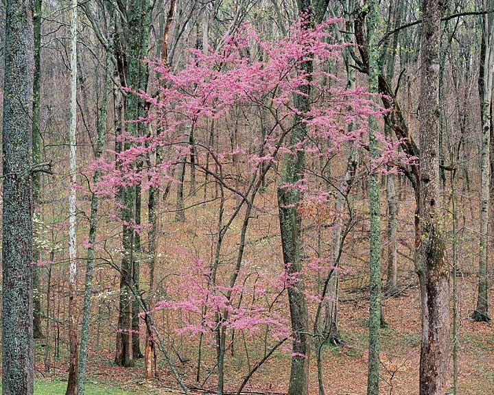 Flowering Redbud, Kentucky