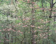 Gentle Dogwoods, Kentucky