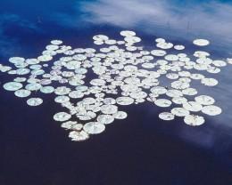 Glistening Water Lilies, Maine