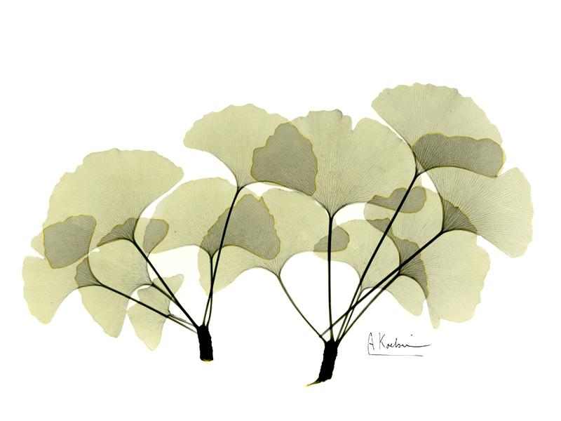 ginkgo leaves by albert koetsier susan spiritus gallery