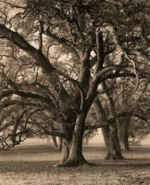 Two-Hearted Oak, Study 2