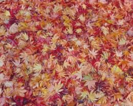 Maple Leaf Collage