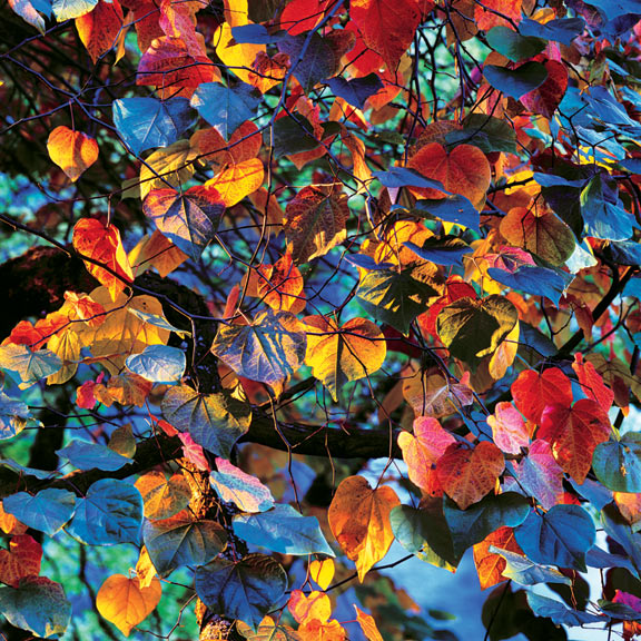 Resplendant Leaves at Sunset, Oregon