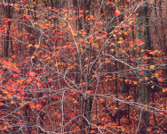 Syncopated Red Maple, West Virginia