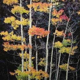 Truffula Aspens, Colorado