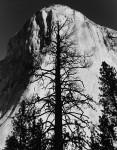Bare Spruce & El Capitan