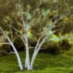 Eucalyptus Grouping