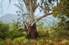 Eucalyptus Tree & Dark Trunk