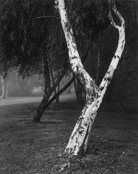 Leaning White Eucalyptus
