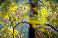 Sunlit Eucalyptus