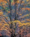 Yellow Maples at Twilight