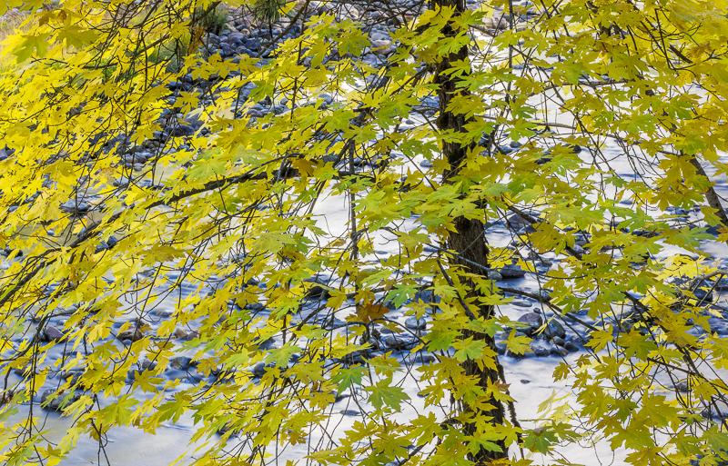 Big Leaf Maple and Merced River, Autumn, Yosemite