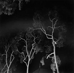 Tree Study, Balboa Island