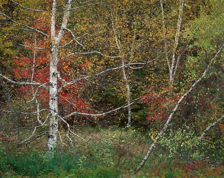 Scraggy Birch, White Mountains NH