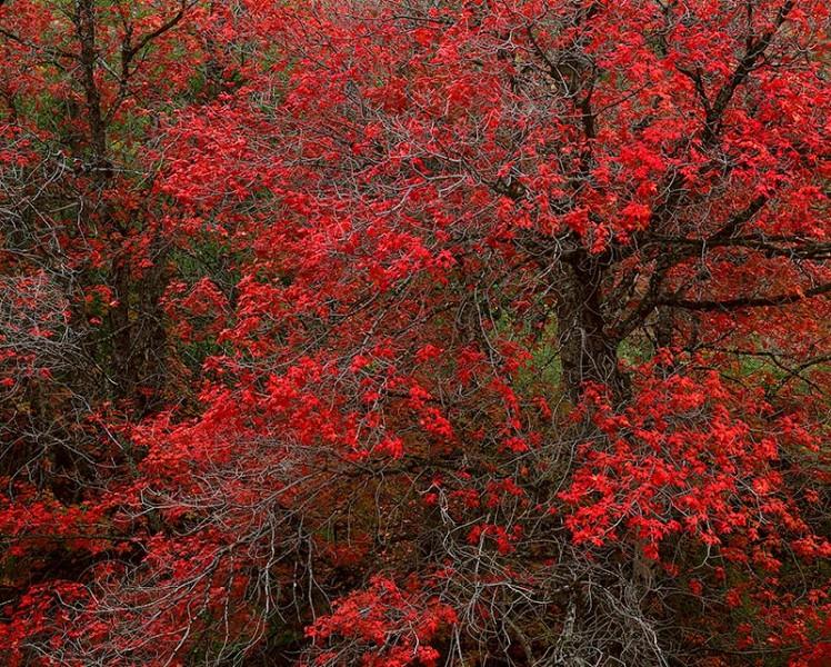 Maples, Autumn, Clear Creek, Zion Nat'l Park