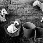 3 Goats, Mali