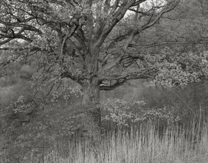 Oak Tree, Holmdel, NJ