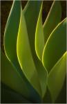 Green Yucca Fan (#0153)