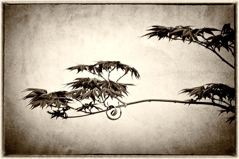 Maple Tree (#7481)