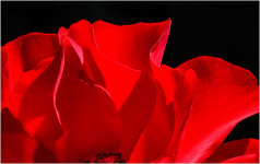 Red Rose (#2295)