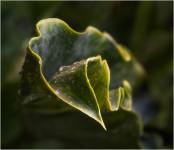 Twisted Leaf (#2397)
