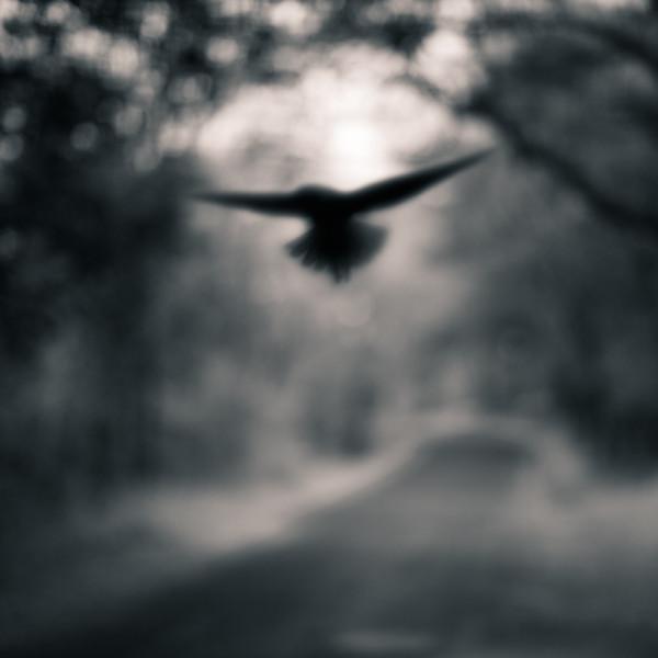 Black Winged Bird