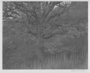 Oak Tree, Holmdel, NJ: George Tice