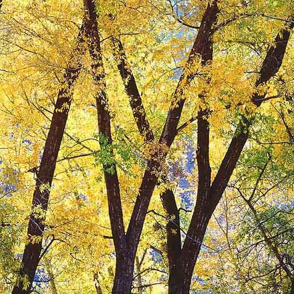 Golden Cottonwoods, CO