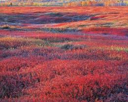 Sunrise & Autumn Blueberries, ME