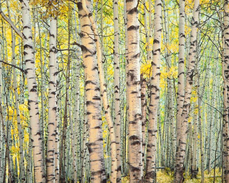 Trout Creek, Aspen Forest, Colorado