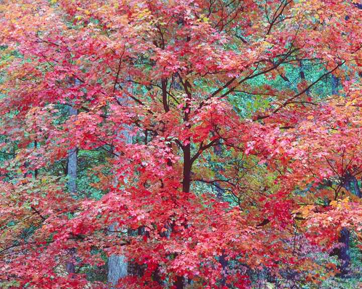 Cerise Red Maple, KY