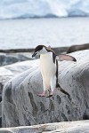 Chinstrap Penguin Jumping