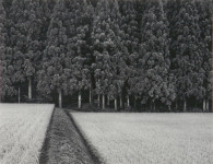 Rice Field and Pine Forest, Japan (Sold)