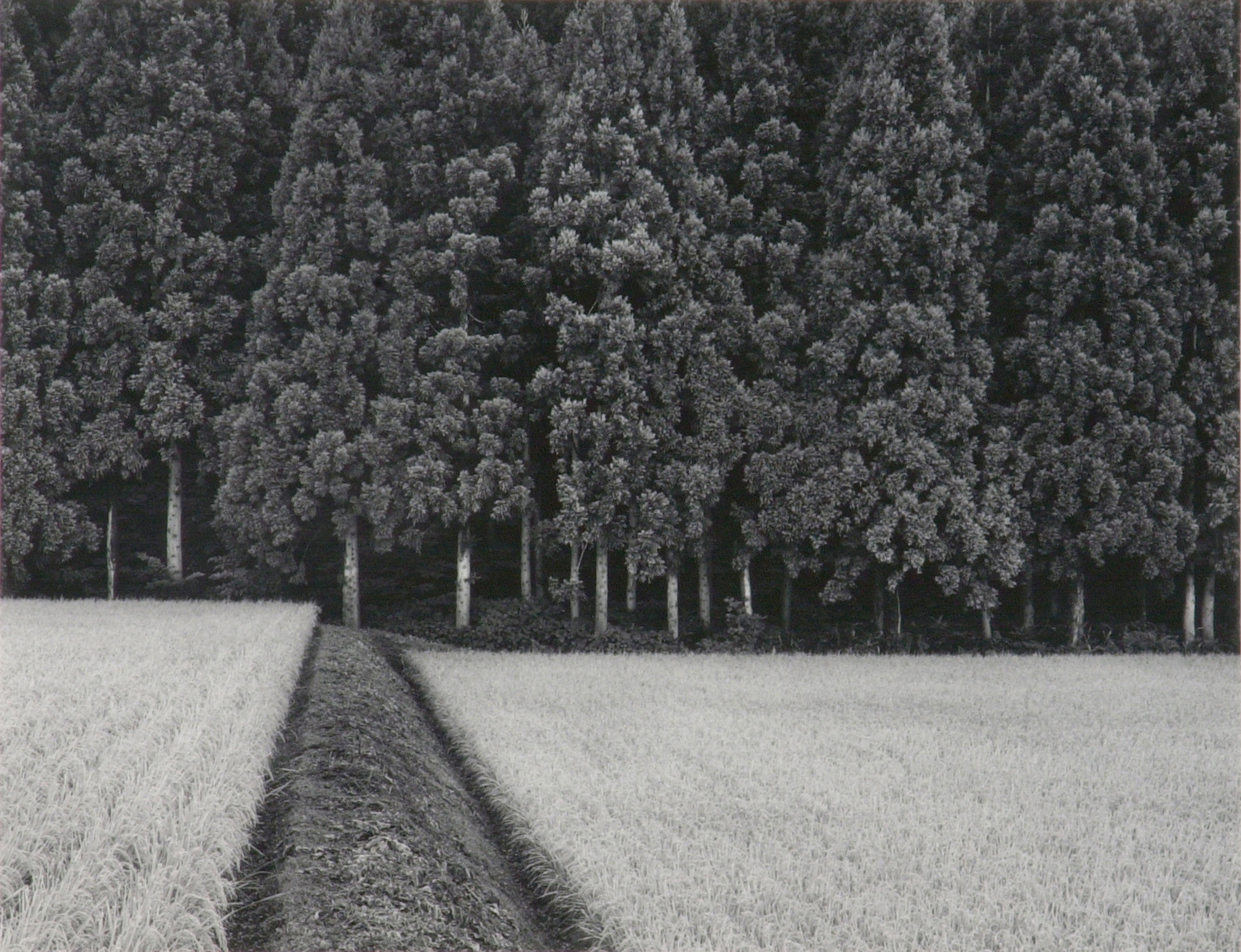 Rice field and pine forest japan sold tags black and white