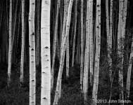 Aspen, Forest, Dusk, Near Aspen, CO (Sold)