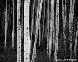 Aspen, Forest, Dusk, Near Aspen, CO (Sold)