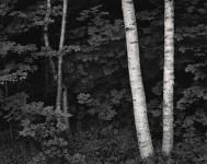 Birch Trees, Rockport, Maine (Sold)
