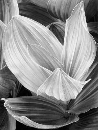 Corn Lily, Eastern Sierra Nevada (Sold)