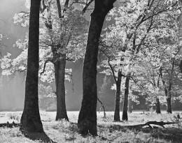 Black Oaks, Autumn