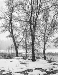 Oaks, Snowstorm, Sentinel Meadow, Yosemite
