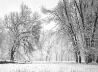 Oaks, Meadow, Snowstorm, Yosemite