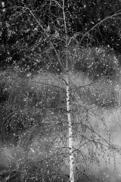 Birch Tree in Winter, Canada