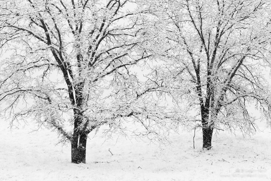 Oaks in Snowstorm, Ahwanee, Sierra Nevada Foothills