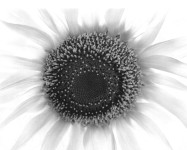 Sunflower, Winthrop, MA