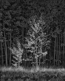 Aspens in Light, Autumn