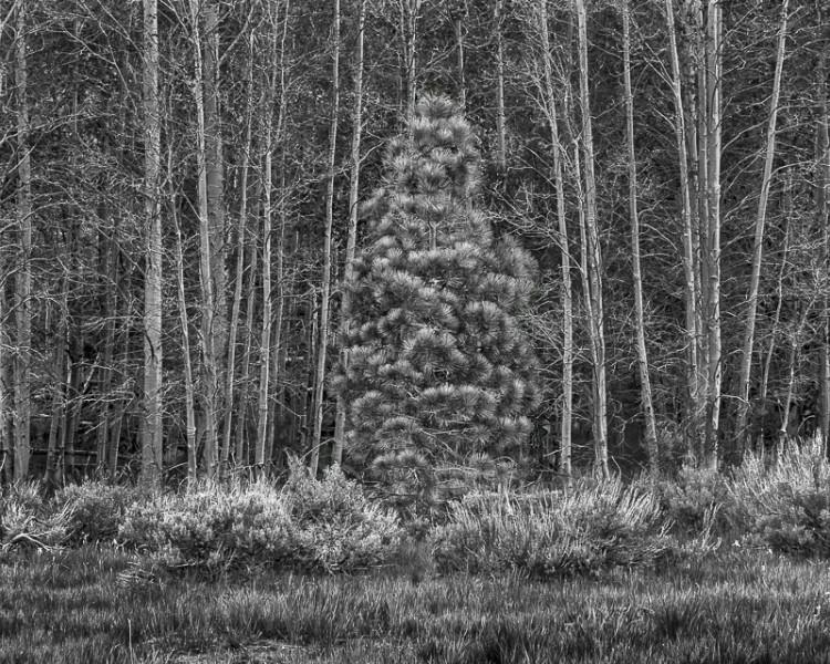 Pine Awry, California Eastern Sierras