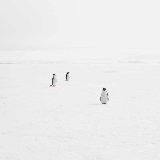 Adeli Penguins on Fast Ice, Antarctica