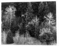 Aspen and Conifer, Near Cloudcroft, NM